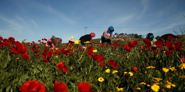 Women harvest green peas in a field near El Kef, Tunisia April 14, 2016. REUTERS/Zohra Bensemra