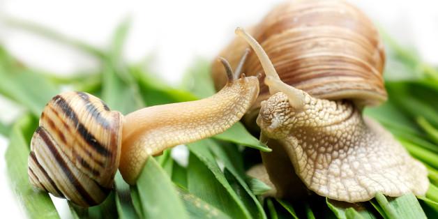 Un escargot gaucher trouve l'amour grâce à Internet (et pour le bien de la science)