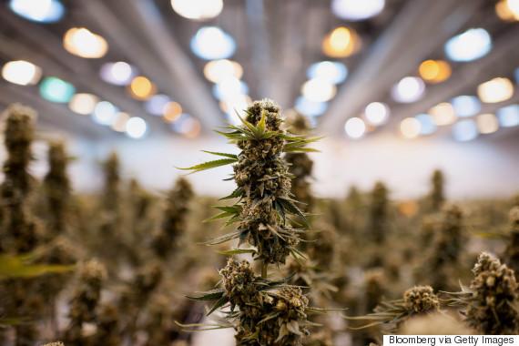 medical cannabis canada grow