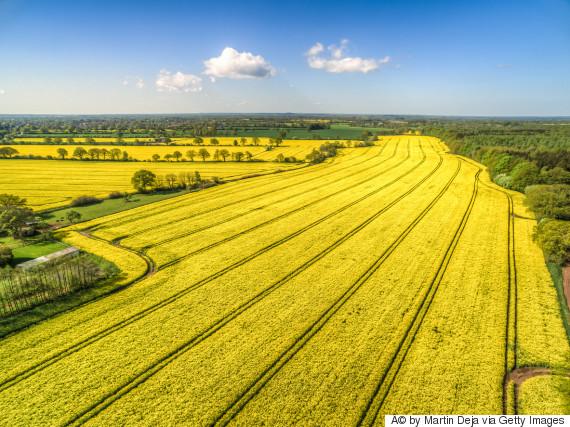canola farm europe