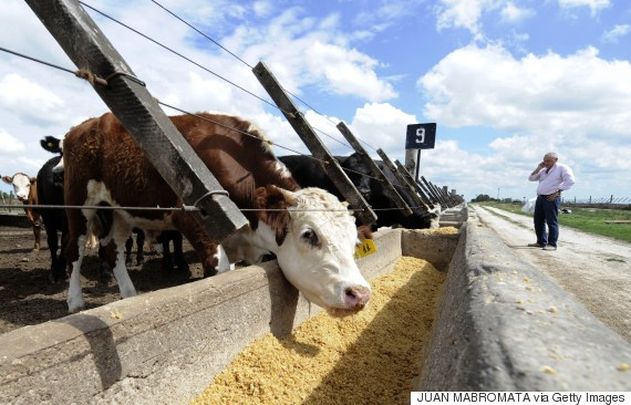 cattle eating soy