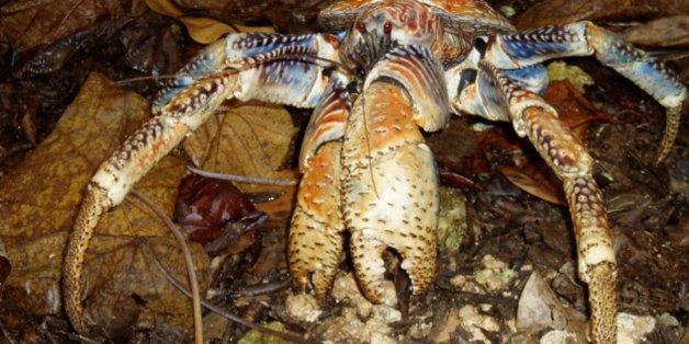 Ce crabe est presque aussi fort qu'un lion