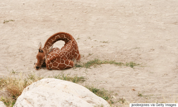 giraffe sleeping