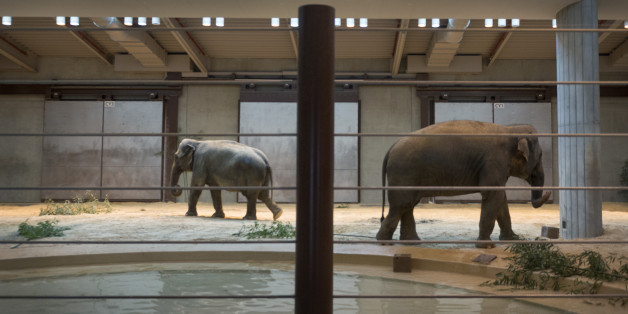 WASHINGTON, DC- NOVEMBER 19:   Asian elephants Kamala and her female offspring Maharani feed indoors at the Smithsonian National Zoo's Elephant Community Center  in Washington, DC on November 19, 2014.    Cold temperatures forced the animal exhibit indoors.  Three female elephants came to the Smithsonian earlier this year from a zoo in Calgary.    (Photo by Linda Davidson / The Washington Post via Getty Images)