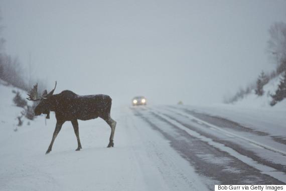 moose winter car