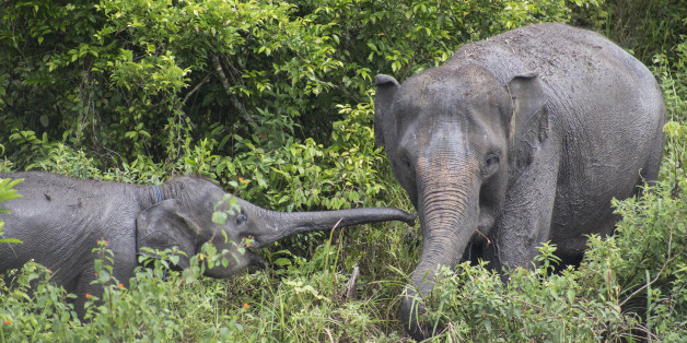 Way Kambas, Lampung, 18 December 2016 : Melly, a domesticated elephant with her child at ERU camp Waykambas.  Elephant Respond Unit (ERU) is a sub organization under Indonesian Ministry of Environment funded by Non Government Organization : Asian Elephant Support, International Elephant Foundation, Wildlife Without Borders, and WTG (Welttierschutz geselichaft e.V) without any support from Indonesian Government founded in 2010 and located at Way Kambas National Park-Lampung-Indonesia. Mr. NAZARUDDIN the coordinator of ERU lead hundreds of Employee and voulenteers at the national park in helping to secure the national park especially wild Elephant from coflict by prevent the residents area arround the park using controlled elephant that own by ERU, ERU also have medical team that control the healthy of the domesticated elephants by giving health examination and medical treatment. Since ERU was founded, the conflict between Elephant and local resident reduced significanlty, the healthy of domesticated elephants increasing, and the illegal proaching and logging at the national park reduced. Although there are no support at all from Indonesian government, with the help of above NGO, the organization still running since the good leadership from Mr. NAZARUDDIN.  (Photo by Donal Husni/NurPhoto via Getty Images)