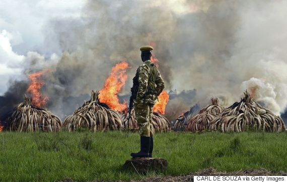 elephants ivory illegal trade
