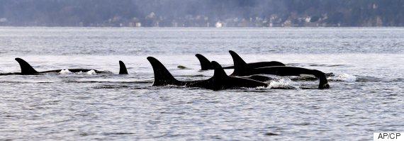 jpod killer whales orca
