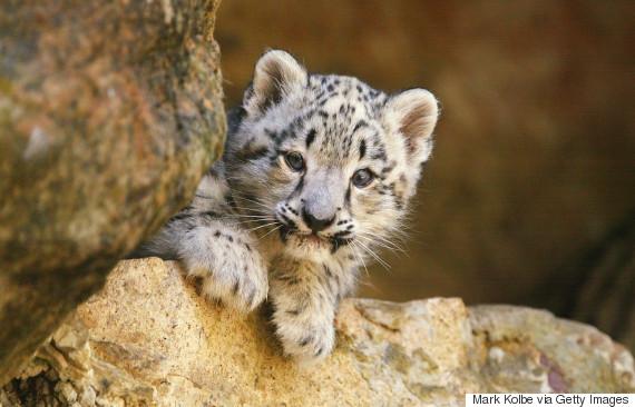 snow leopard cub at taronga zoo