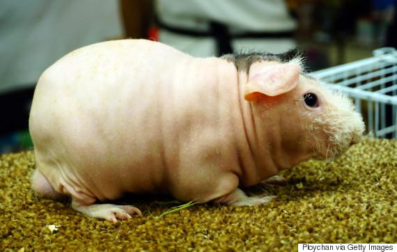 hairless animal