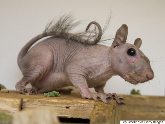 hairless squirrel