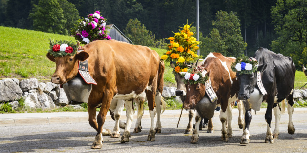 Farmers with a herd of cows on the annual transhumance at Charmey near Gruyeres, Fribourg zone on the Swiss alps