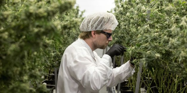 Tweed employee Ryan Harris trims plants inside the Flowering Room with medicinal marijuana at Tweed INC. in Smith Falls, Ontario, on December 5, 2016. / AFP / Lars Hagberg        (Photo credit should read LARS HAGBERG/AFP/Getty Images)
