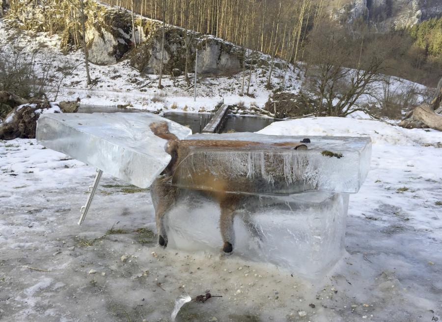 volpe nel ghiaccio