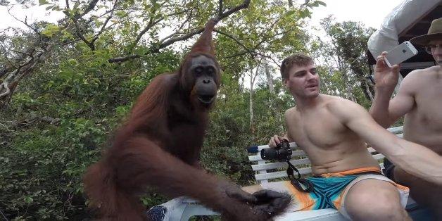Ein Mann wollte ein Selfie mit einem Orang-Utan machen - es kam, was kommen musste