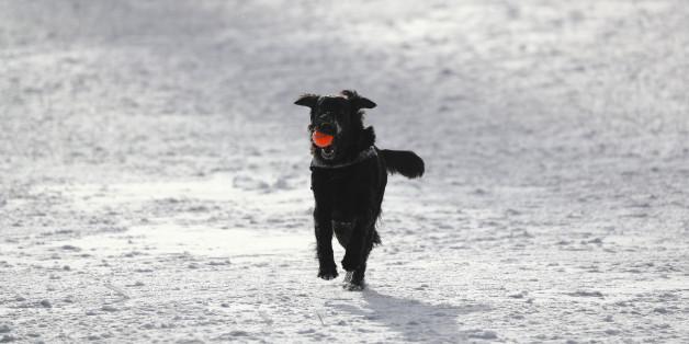 A dog plays in the snow at the Feldberg mountain near Frankfurt, Germany, January 5, 2017. REUTERS/Kai Pfaffenbach