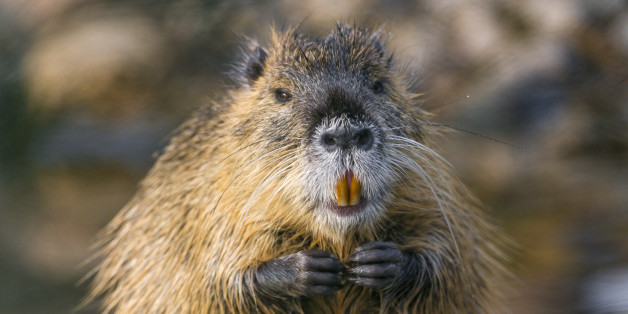 Picture of a nutria with joined hands, near the water.