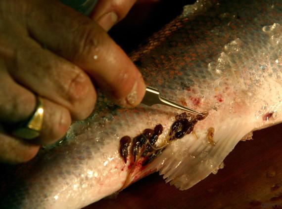 piojo rojo salmon