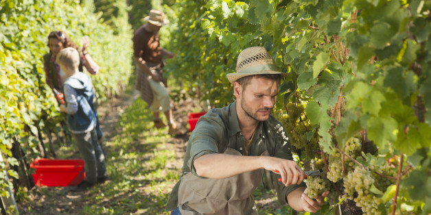 Man picking white grapes with scissors in his vineyard with hat on his head. the whole family in the background. Late afternoon.