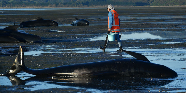 This picture taken on February 11, 2017 shows a volunteer caring for pilot whales during a mass stranding at Farewell Spit.