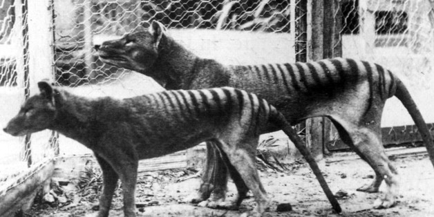 Now extinct, Tasmanian Tiger (thylacine) in Hobart Zoo Tasmania;Australia. 1933. (Photo by: Universal History Archive/UIG via Getty Images)