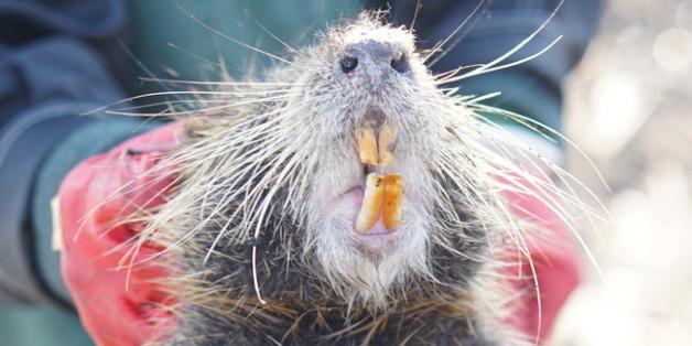 지난 15일 오전 경남 김해시 화목동 해반천 하류에 전홍용씨가 설치한 포획틀 안에 뉴트리아 한 마리가 잡혀 있다.
