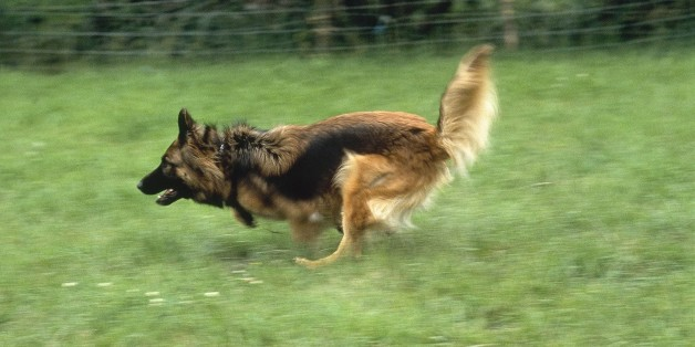 Bei dem freilaufenden Angreifer handelt es sich vermutlich um einen Deutschen Schäferhund.