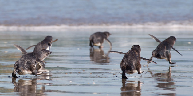 Little Blue Penguins runs towards the sea after being released by wild life workers and school children at Mount Maunganui beach in Tauranga on December 8, 2011. The Penguins were among those affected by New Zealand's biggest sea pollution disaster when the Monrovia-flagged container ship 'Rena' ploughed into a reef on October 5.  AFP PHOTO / MARTY MELVILLE (Photo credit should read Marty Melville/AFP/Getty Images)