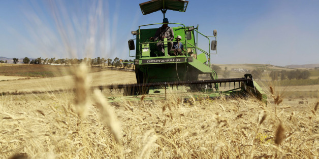 Workers harvest wheat in a field at the outskirts of Beja governorate, about 115 km (71 miles) north of the capital Tunis June 14, 2013. REUTERS/Anis Mili (TUNISIA - Tags: AGRICULTURE BUSINESS COMMODITIES)