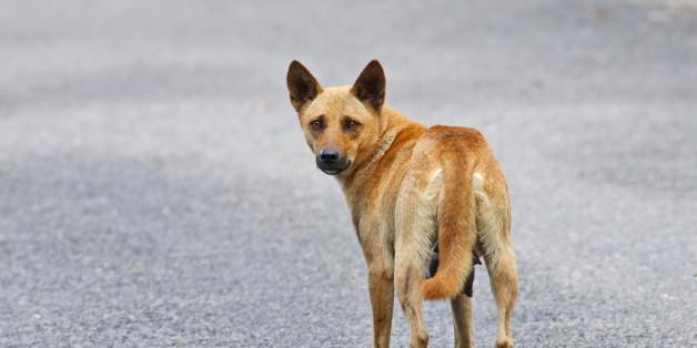 Brown Street Dog in Thailand