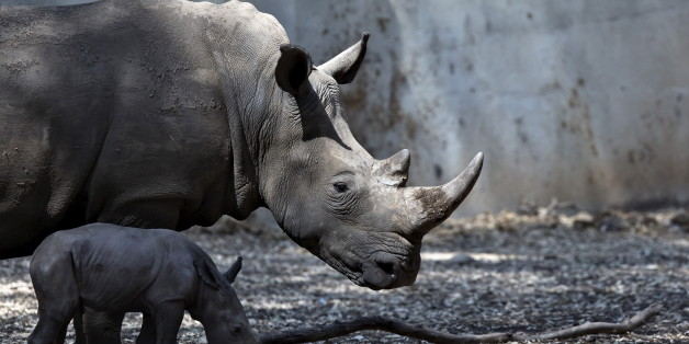A newborn rhinoceros stands next to its six-year-old mother Keren Peles at the Ramat Gan Safari Zoo near Tel Aviv, Israel August 24, 2015. Born on Monday, the calf is its mother's first offspring and the 27th rhino born at the Safari, a statement from the zoo said. REUTERS/Nir Elias