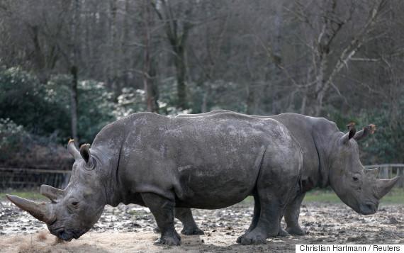 white rhinos thoiry
