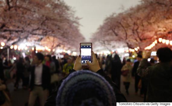 cherry blossom night