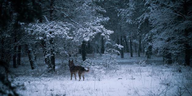 shepherd dog in winter forest, mongrel sheepdog