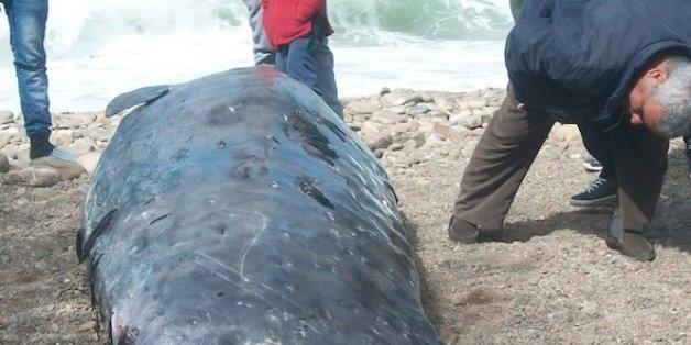 La baleine a échoué sur la plage de Torres, près d'Al Hoceima.