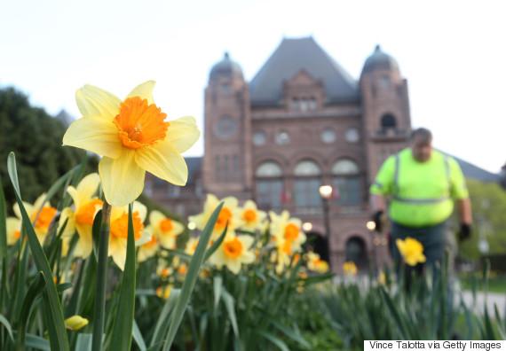 daffodils canada