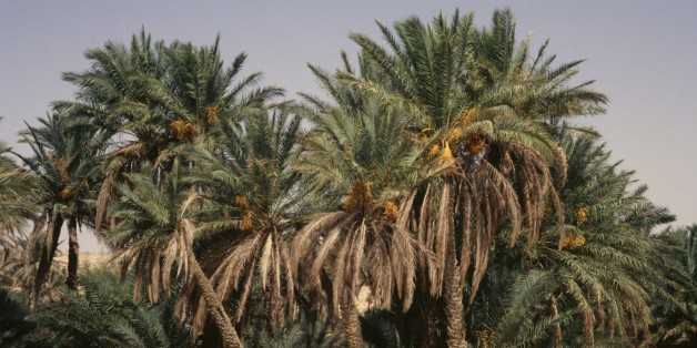 TUNISIA - MARCH 18: Palm trees, Tozeur Oasis, Tunisia. (Photo by DeAgostini/Getty Images)