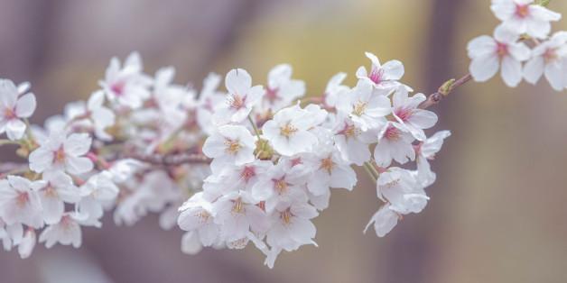 cherry blossom, spring background