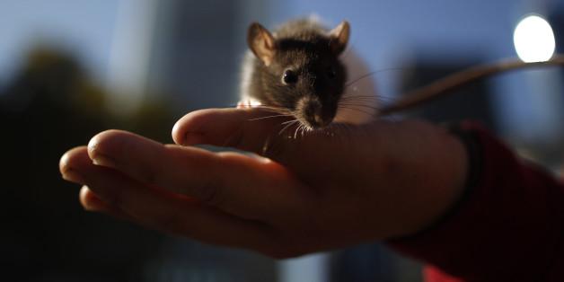 Eltern kauften ihrem zehnjährigen Sohn eine Ratte - nur zwei Wochen später ist der Junge tot.