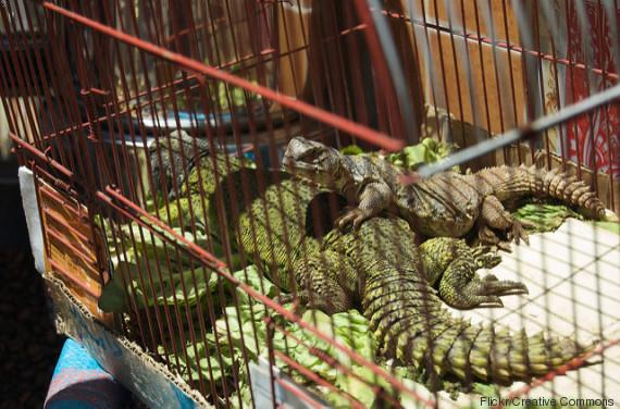 morocco lizard