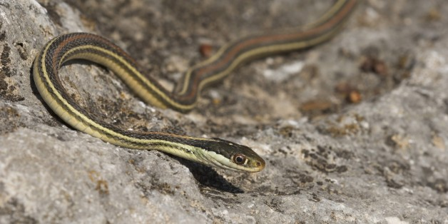 φίδι σεξ βίντεο Ξανθιά λεσβίες μουνί