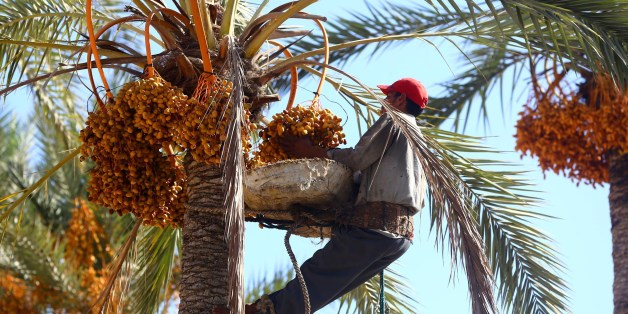 An Egyptian worker harvests dates from a date palm tree on September 14, 2014 in Tajura, a coastal suburb of the Libyan capital Tripoli. AFP PHOTO / MAHMUD TURKIA        (Photo credit should read MAHMUD TURKIA/AFP/Getty Images)