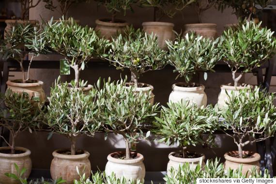olive tree pot