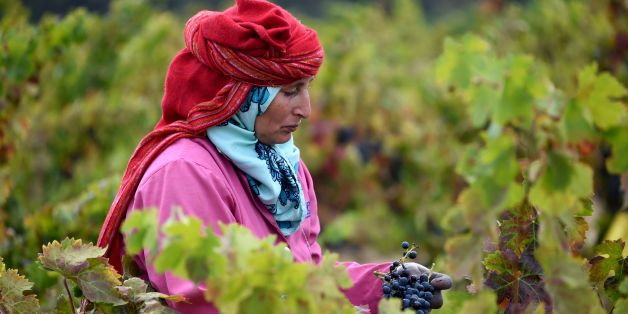 A Tunisian woman harvests grapes at the Neferis vineyard in the wine-producing region of Grombalia, some 40 kilometres (25 miles) southeast of the capital Tunis, on September 16, 2016. 