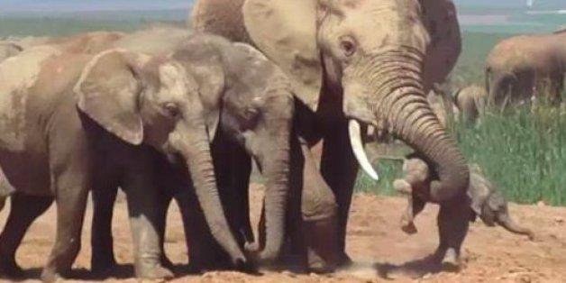 La scène filmée en Afrique du Sud a été analysée par une experte du comportement des éléphants.