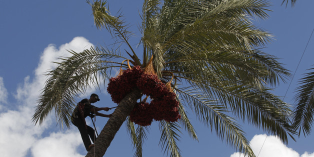 A Palestinian farmer harvests dates from a date palm tree in Khan Yunis, in the southern Gaza Strip, on October 3, 2013. AFP PHOTO / SAID KHATIB        (Photo credit should read SAID KHATIB/AFP/Getty Images)