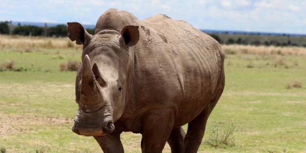 LAIKIPIA, KENYA - MAY 03: A northern white rhinoceros is seen at Ol Pejeta Conservancy, a 90,000-acre (360 km2) not-for-profit wildlife conservancy, in Central Kenya's Laikipia County on April 03, 2017. At the edge of the extinction, three northern white rhinoceros are the last ones of their species in the world. Three northern white rhinoceros or square-lipped rhinoceros (Ceratotherium simum) those named Sudan, the male one; Najin and Fatu, female ones, are being guarded and observed 24 hours t