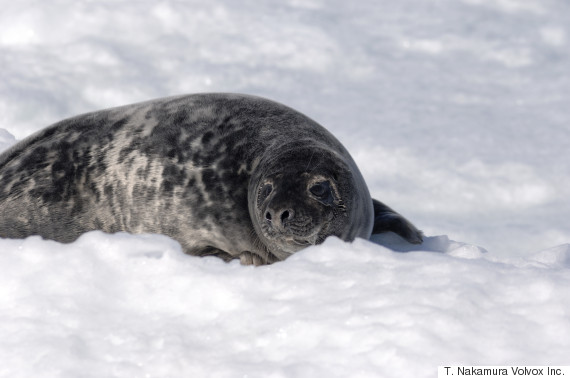 canada seal