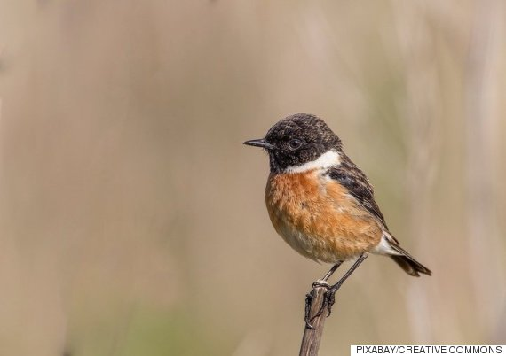 the black and rufous flycatcher