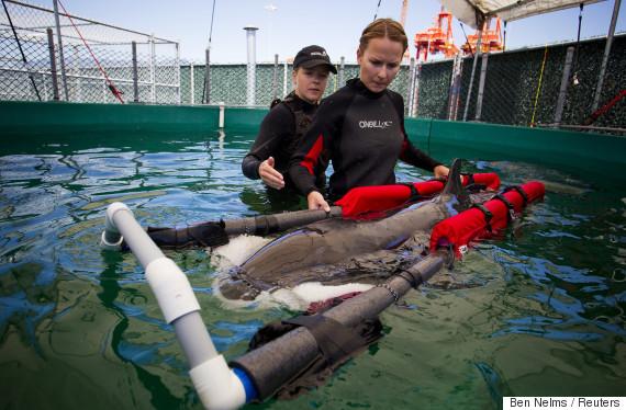 false killer whale vancouver